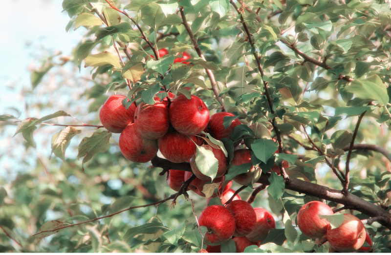 Bright photograph of a branch of an apple tree. It appears to be spring time and the branch is full of ripened red apples.